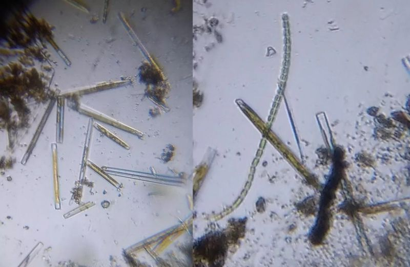 Live diatom samples of the genus Ulnaria observed under a Foldscope.